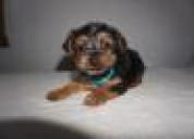 Cachorro yorkshire terrier en venta