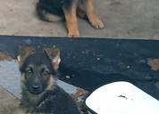 Cachorros pastor alemán en venta