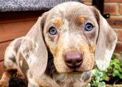 Cachorros de perro salchicha de pelo duro