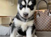 Cachorros de husky siberiano dulces