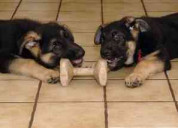 !cachorros pastor alemán