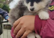 Alaskan malamute raza pura ojos marrón en forma de