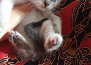 Gatos siameses bebÉs