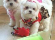 Cachorros malteses para adopcion