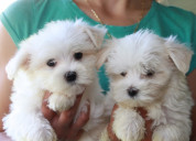 Cachorros malteses 2021