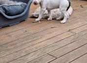 Bull terrier cachoros para