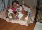 5 cachorros de bulldog inglés en adopción