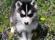 Cachorro husky en adopcion