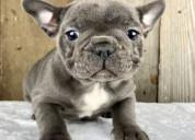 Bulldog francés bella