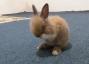 Conejos bebes cabeza de léon