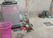 Pitbull cachorro blue 3 meses