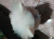 Pomerania macho color blanco
