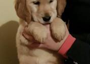 Hermosos cachorros de golden retriever de kc