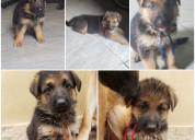 Cachorros pastor alemán padres de raza pura